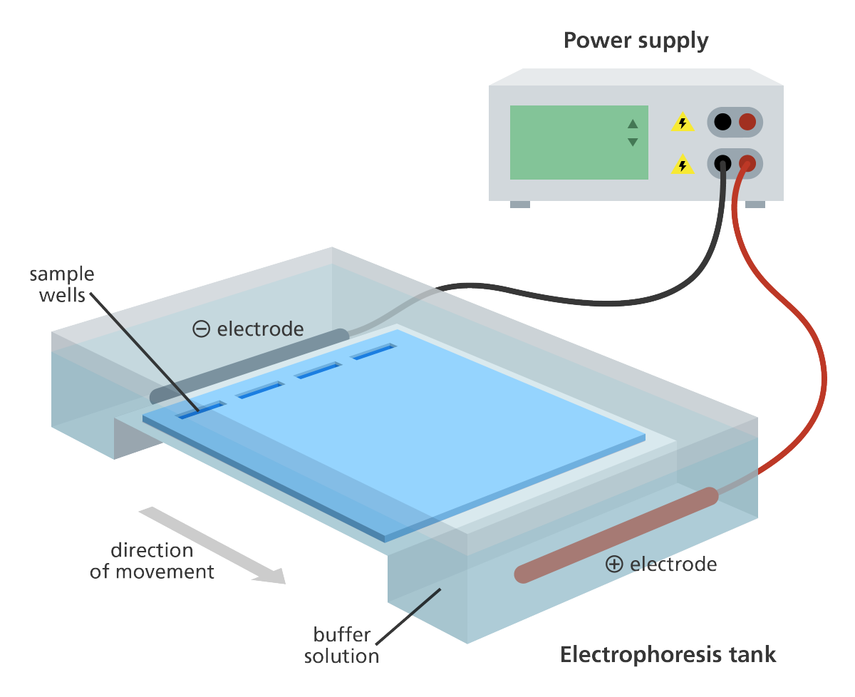 gel_electrophoresis_dna_tank_yourgenome