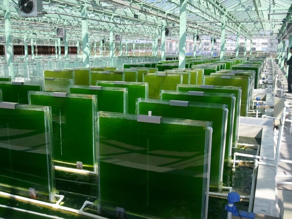 algae farming Wooster, ohio -- right next to a commercial nursery and greenhouse  operation on the outskirts of wooster, paddlewheels keep water.